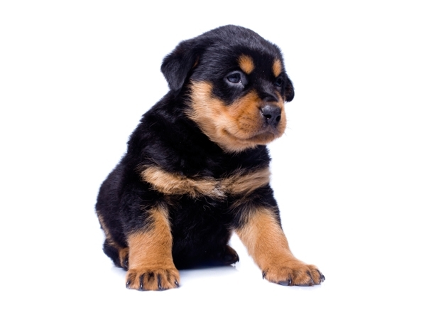 Rottweiler Puppies for Sale Miami