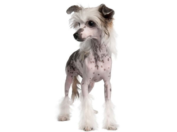 Chinese Crested Puppies for Sale Miami