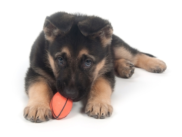 German Shepherd Puppies for Sale Miami