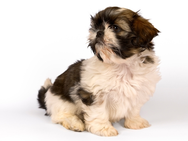 Shih Tzu Puppies for Sale Miami