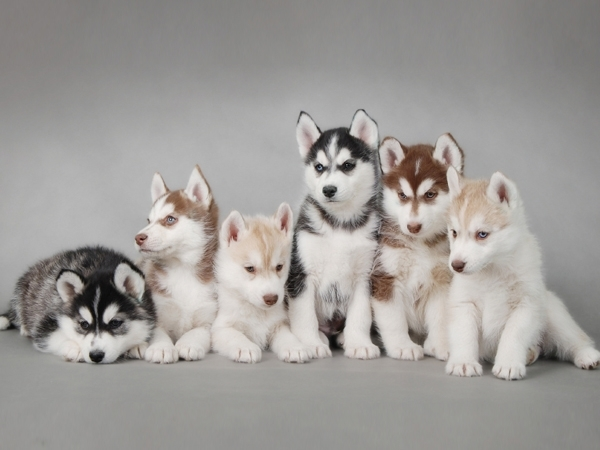 Siberian Husky Puppies for Sale Miami