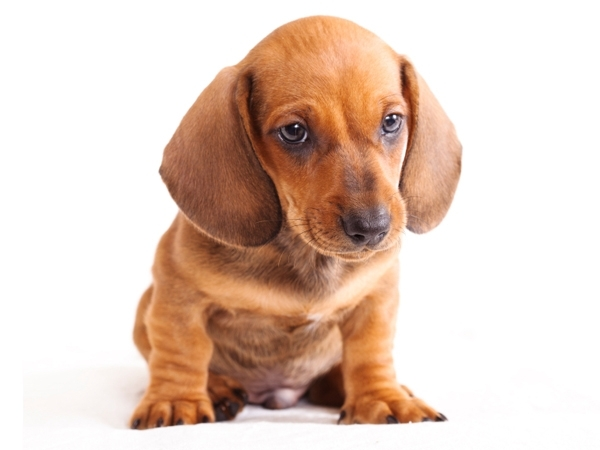 Dachshund Puppies for Sale Miami
