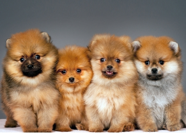 Pomeranian Puppies for Sale Miami