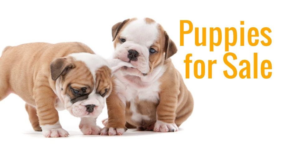 Puppies for Sale Doral