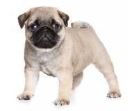 Pug Puppies for Sale Miami