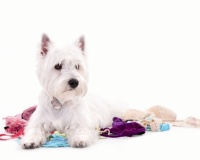 Westie Puppies for Sale Miami
