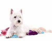 Westie Puppies for Sale Miami