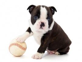 Boston Terrier Puppies for Sale Miami