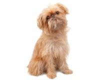 Griffon Bruxellois Puppies for Sale Miami