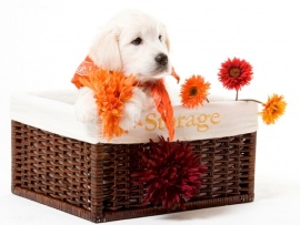Golden Retriever Puppies for Sale Miami