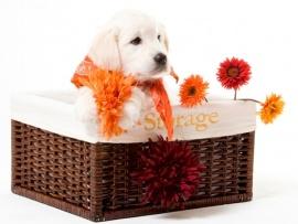Golden Retriever Puppies for Sale Miami
