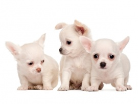 Chihuahua Puppies for Sale Miami