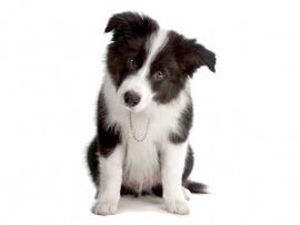 Border Collie Puppies for Sale Miami