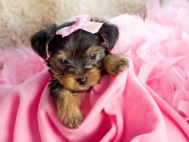 Yorkie Puppies for Sale Miami