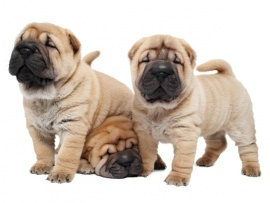 Sharpei Puppies for Sale Miami