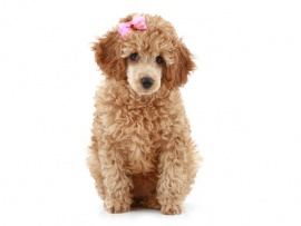 Poodle Puppies for Sale Miami