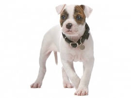 American Bulldog Puppies for Sale Miami