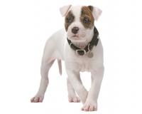 American Bulldog Puppies for Sale Miami