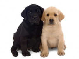 Labrador Puppies for Sale Miami