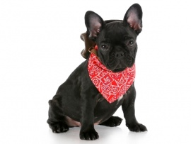 French Bulldog Puppies for Sale Miami
