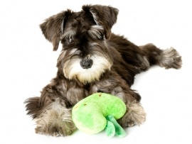 Schnauzer Puppies for Sale Miami