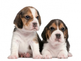 Beagle Puppies for Sale Miami