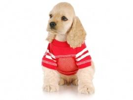 Cocker Spaniel Puppies for Sale Miami