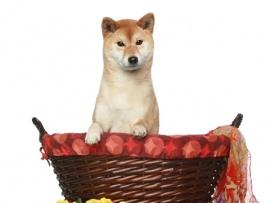 Shiba Inu Puppies for Sale Miami