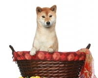 Shiba Inu Puppies for Sale Miami
