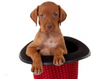 Vizsla Puppies for Sale Miami