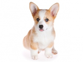 Pembroke Welsh Corgi Puppies for Sale Miami
