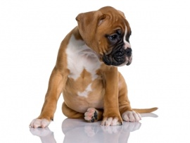 Boxer Puppies for Sale Miami