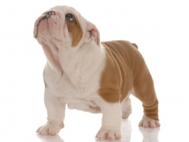 English Bulldog Puppies for Sale Miami