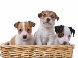 Jack Russell Puppies for Sale Miami