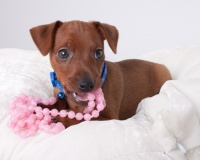 Miniature Pinschers Puppies for Sale Miami